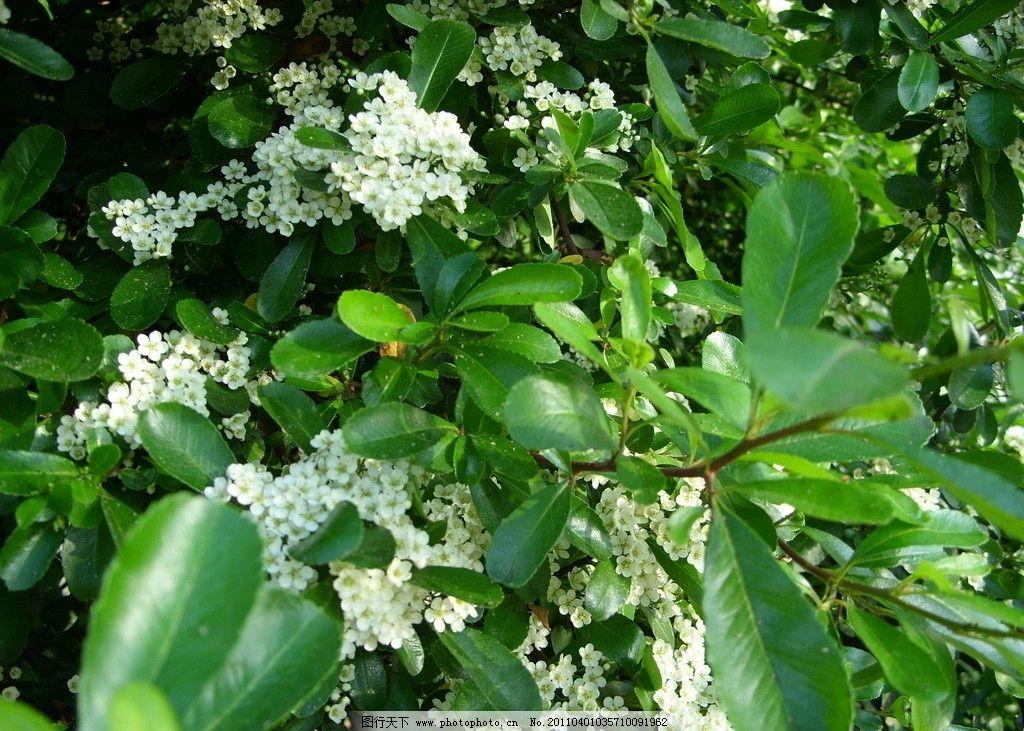 白花绿叶图片