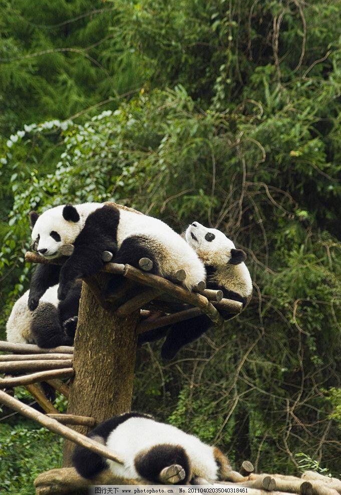 一级保护动物 濒危动物 玩耍 国宝 可爱 脯乳动物 野生动物 生物世界