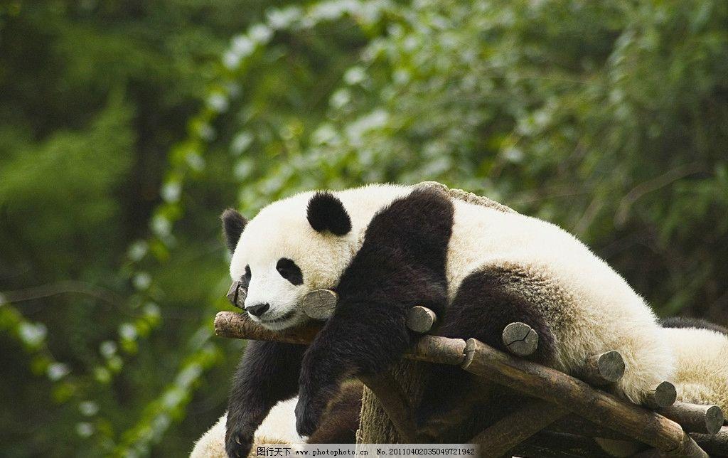 熊猫 大熊猫 保护动物 一级保护动物 濒危动物 国宝 可爱 脯乳动物