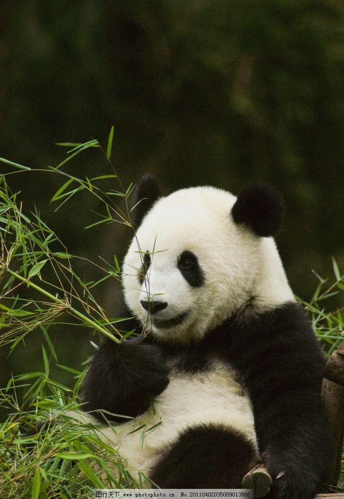 国宝熊猫 大熊猫 保护动物 一级保护动物 濒危动物 可爱的熊猫