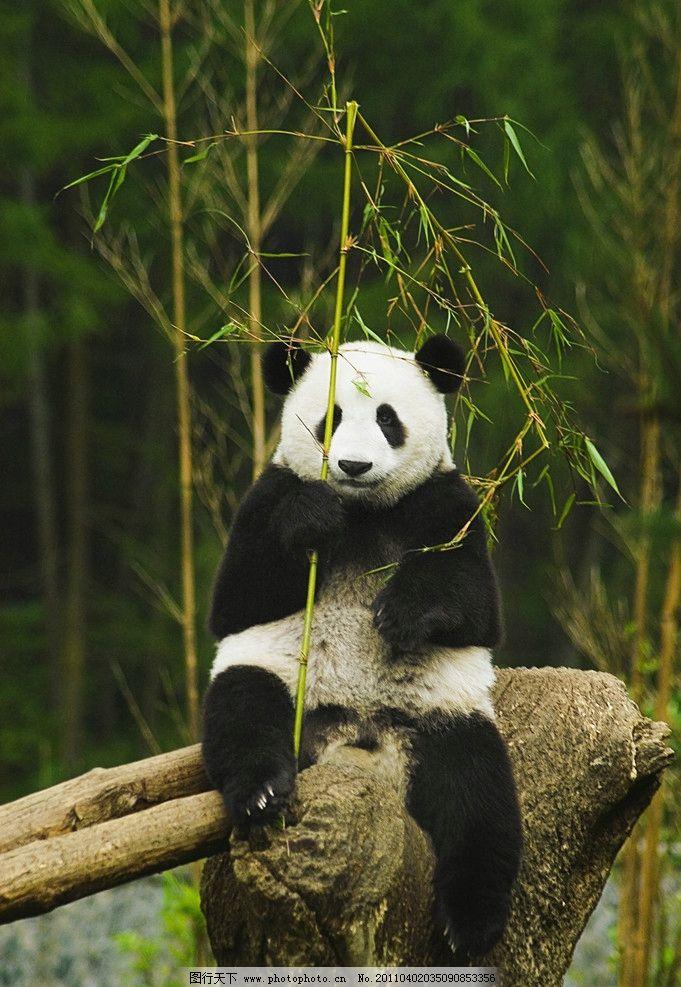 熊猫 大熊猫 保护动物 一级保护动物 濒危动物 吃竹子 国宝 可爱