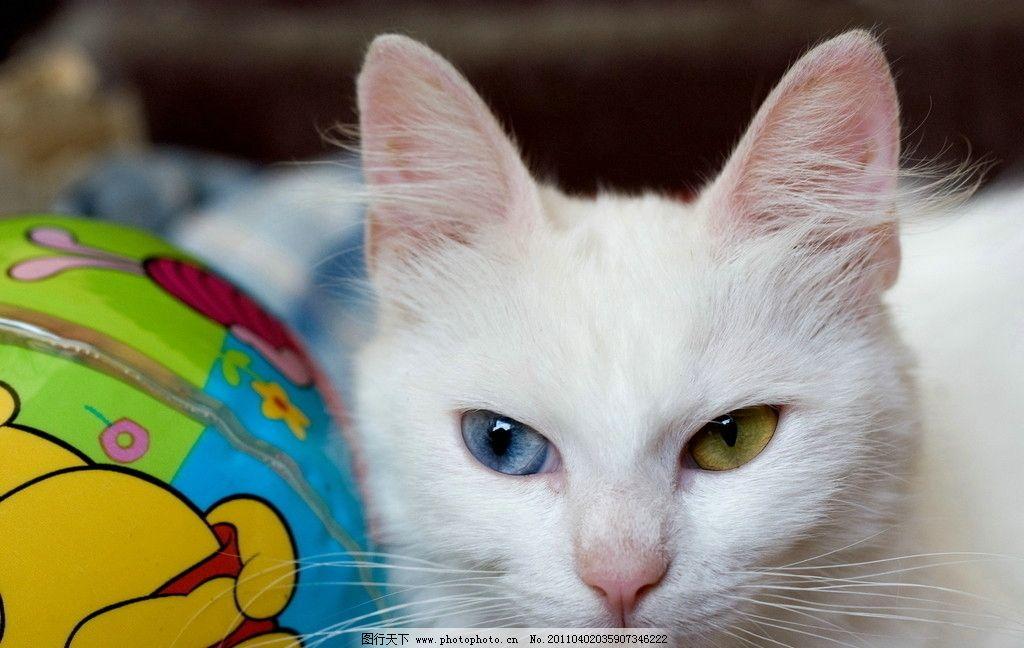高清摄影 波斯猫 白猫 蓝眼睛 黄眼睛 猫咪 家禽家畜 生物世界 摄影