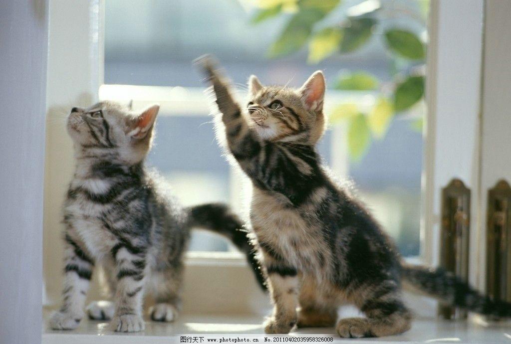 可爱小猫 小猫 猫咪 狸猫 可爱 猫 家猫 宠物 家畜 动物世界 家禽家畜