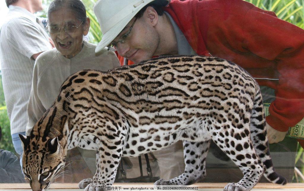 豹猫 生物 栖息 游客 生物世界 野生动物 摄影 300dpi jpg