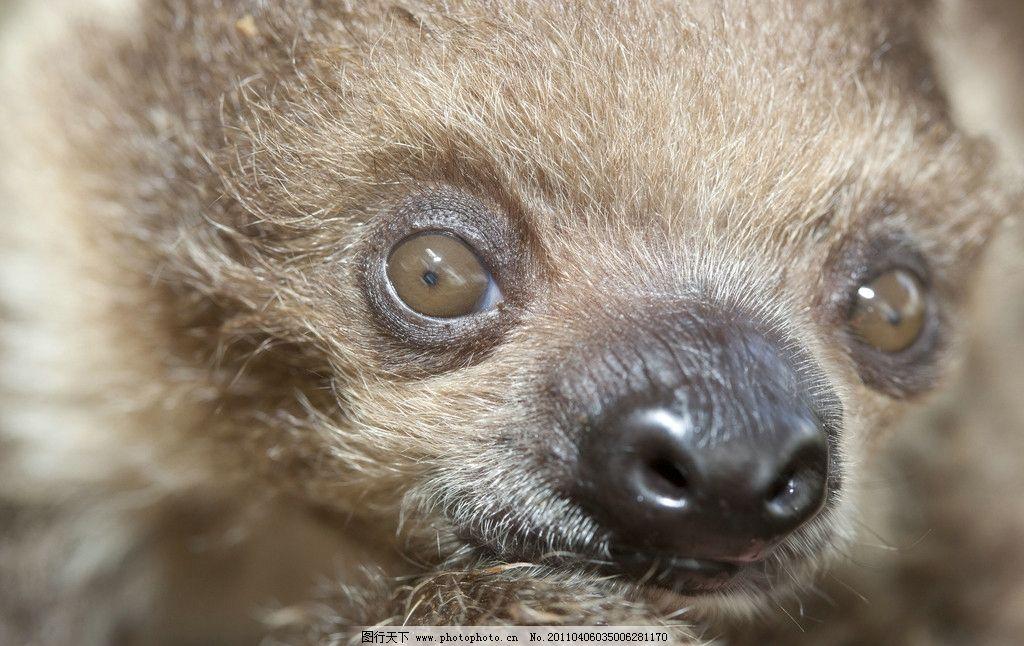 新生树懒 新生 幼仔 树懒 生物 生物世界 野生动物 摄影 300dpi jpg