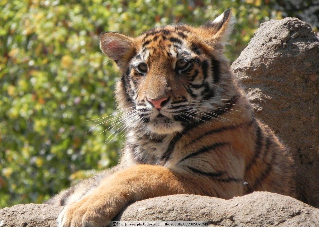 老虎 动物 森林之王 野生动物 生物世界 摄影 300dpi jpg
