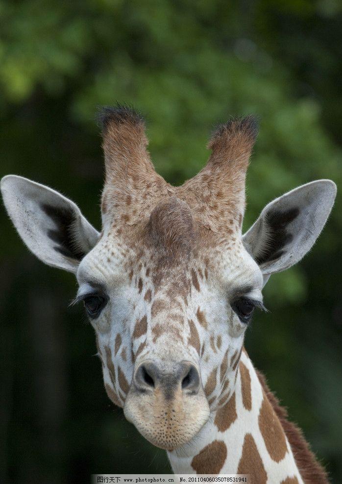长颈鹿 脸 长颈 鹿 生物 生物世界 野生动物 摄影 300dpi jpg