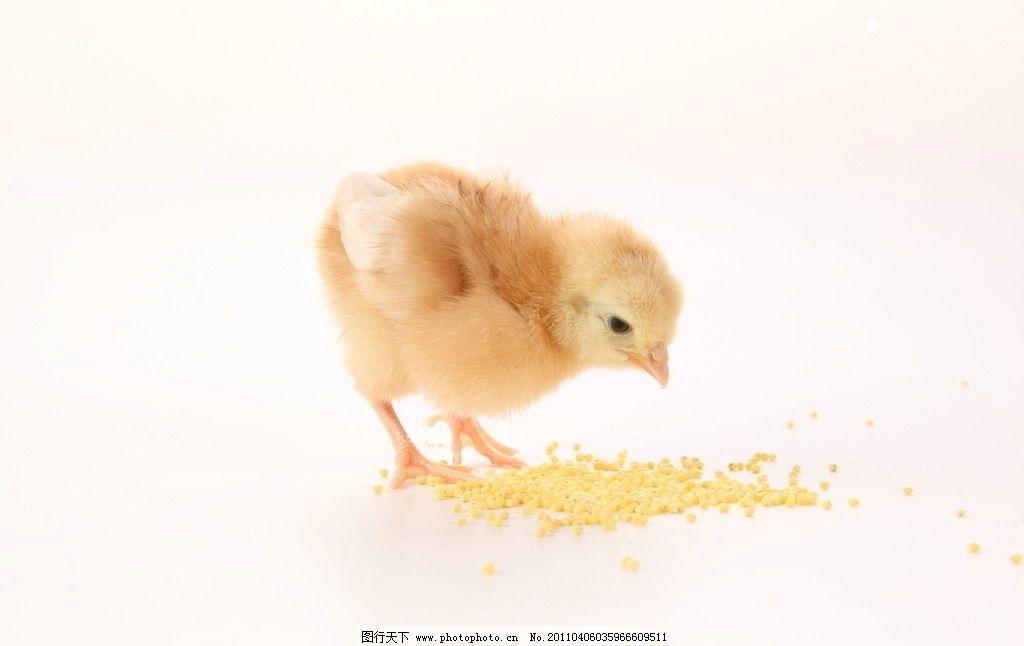 吃米粒的小鸡 小鸡 可爱 动物 家禽主题 家禽家畜 生物世界 摄影 300