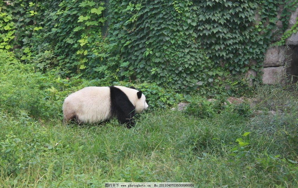 熊猫 大自然 动物园 竹子 绿草 动物园动物 野生动物 生物世界