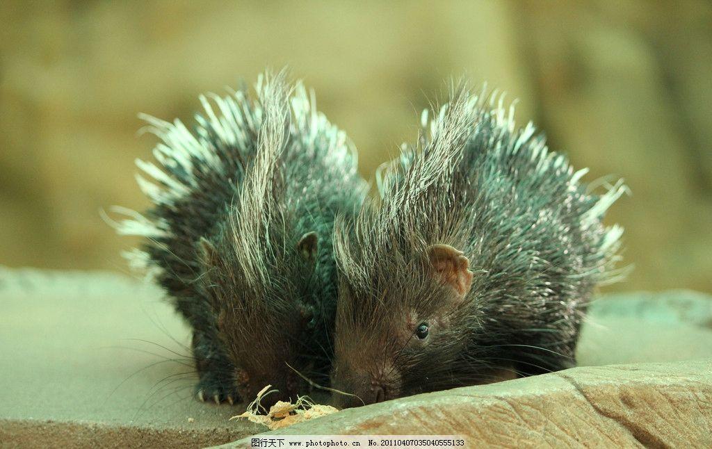 小豪猪 兄弟 豪猪 毛 生物 300dpi     婴儿 生物世界 野生qq怎么弄指定红包 摄影