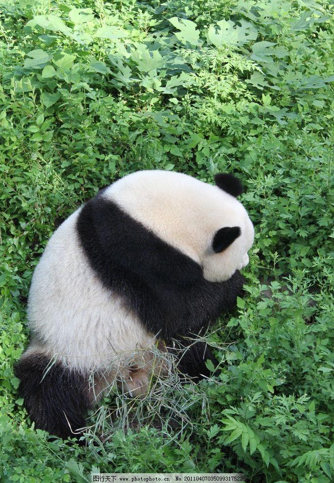 熊猫图片,大自然 动物园 竹子 绿草 动物园动物 野生