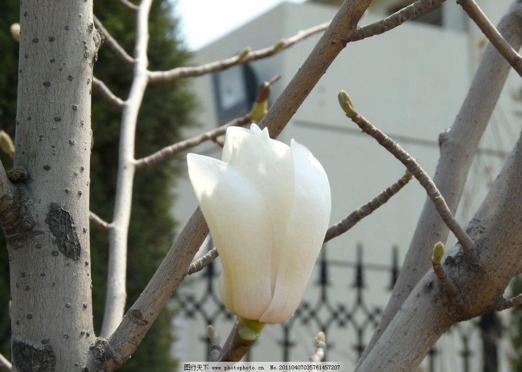 玉兰花 花卉 花蕾 花朵 花芽 花叶 白花 含苞待放 摄影 素材 花草