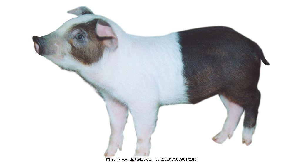 摄影图库 生物世界 家禽家畜  两头乌的花猪 黑白相间 大耳朵 肥头大