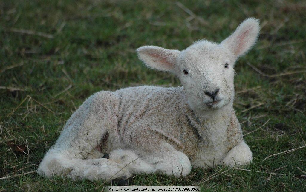 羔羊图片,牧羊 动物 羊毛 白羊 绵羊 摄影-图行天下