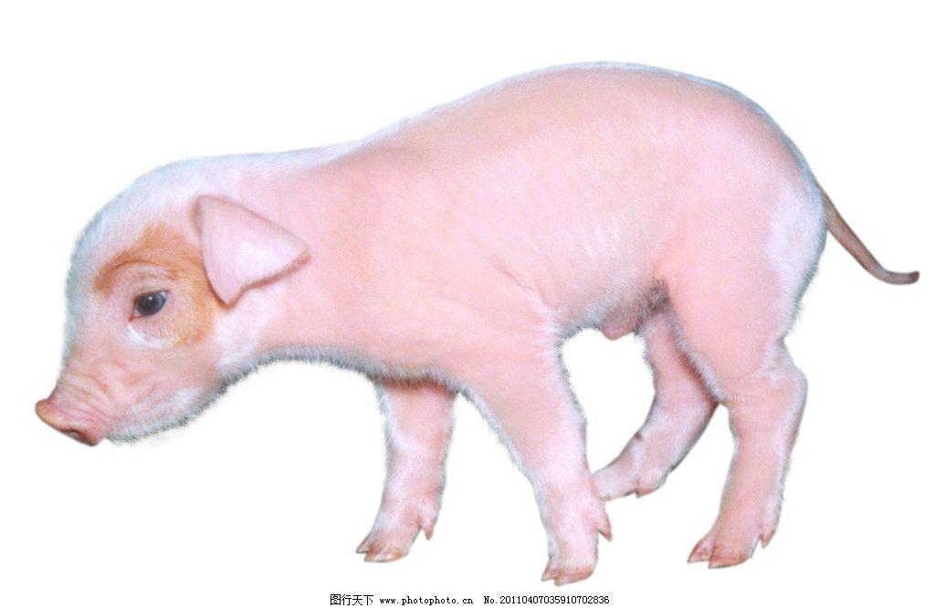蹒跚学步的小乳猪 雪白 大耳朵 肥头大耳 健康活泼 可爱 杂食动物