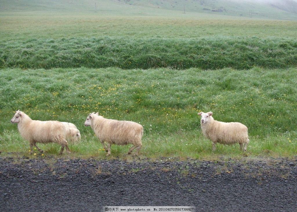 白羊 草原羊群