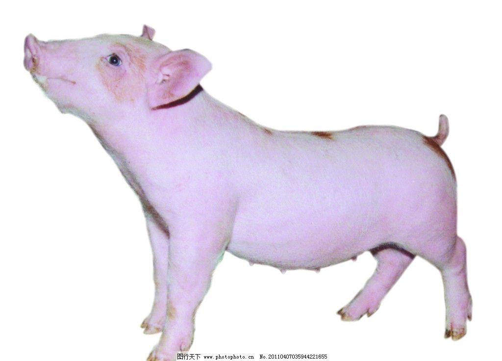 盼望目光中的小猪 黄白相间 大耳朵 肥头大耳 健康活泼 可爱 杂食动物