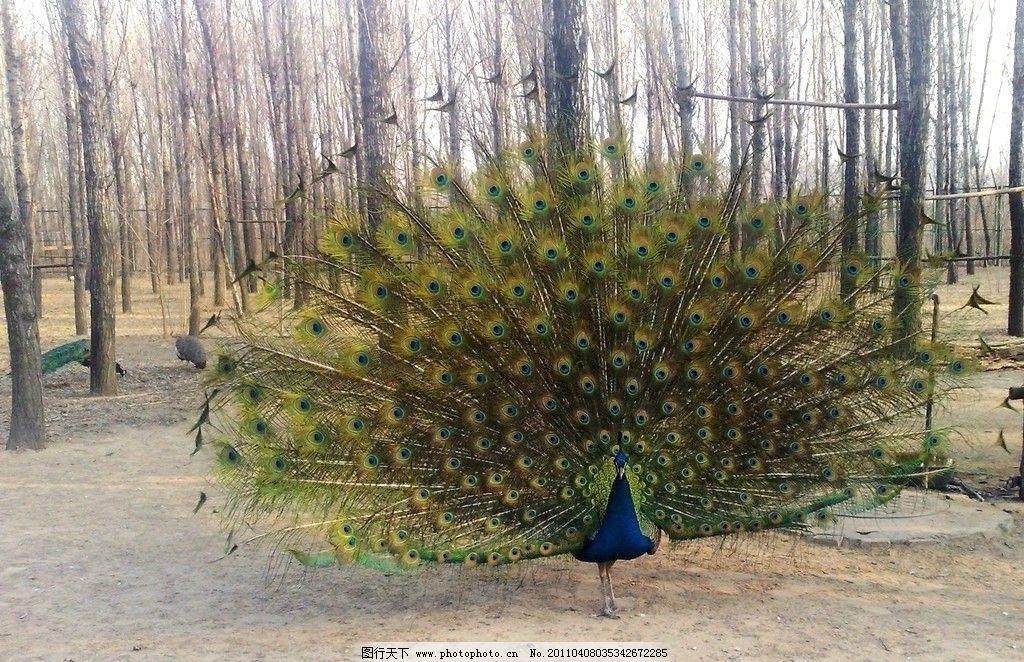 孔雀开屏 孔雀 动物 动物园 树木 鸟类 生物世界 摄影 300dpi jpg