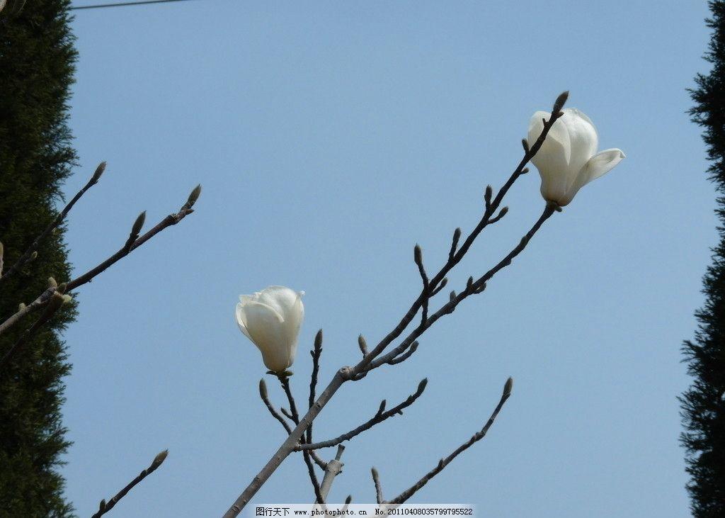 玉兰花 花卉 花蕾 花朵 花芽 花叶 红花 白花 含苞待放 松树 摄影