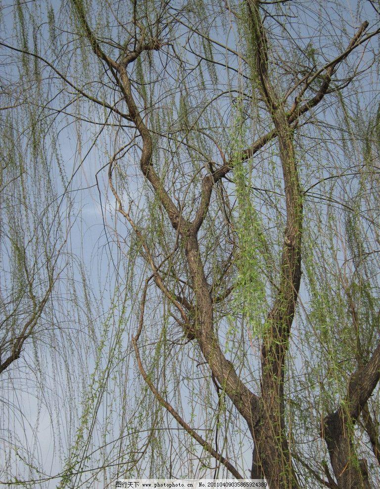 柳枝 柳树 柳条 春天 柳絮 摄影