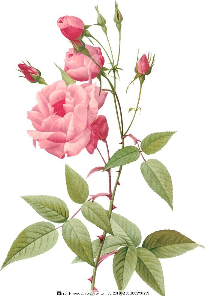 手绘玫瑰 手绘 玫瑰 精美 精致 花枝 花 花卉 绿叶 绘画书法 文化艺术