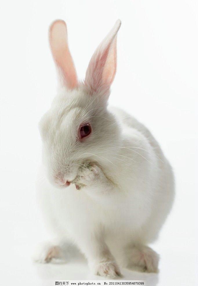 小白兔 兔子 可爱 动物 家禽主题 家禽家畜 生物世界 摄影 300dpi jpg