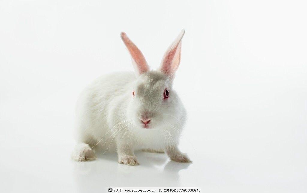 小白兔 兔子 可爱 动物