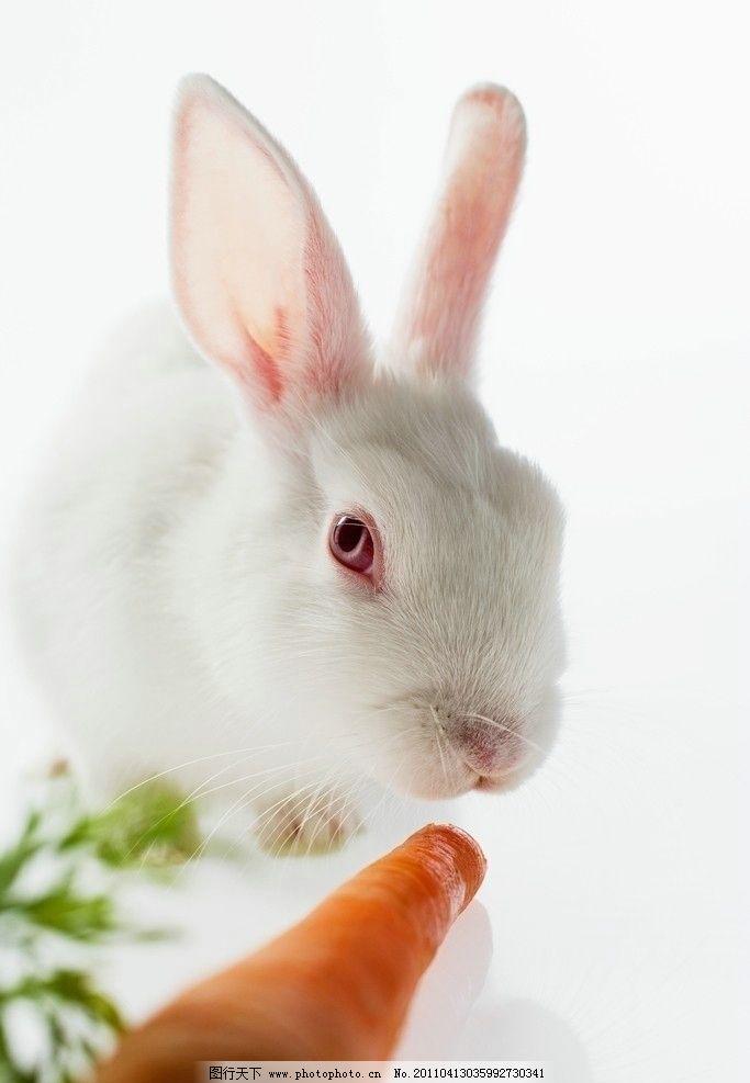 吃萝卜的小白兔 兔子 宠物 可爱 动物 家禽主题 家禽家畜 生物世界 摄