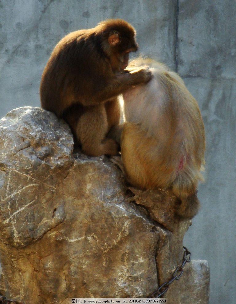 猴子 动物园 抓虱子 生物世界 摄影 野生动物