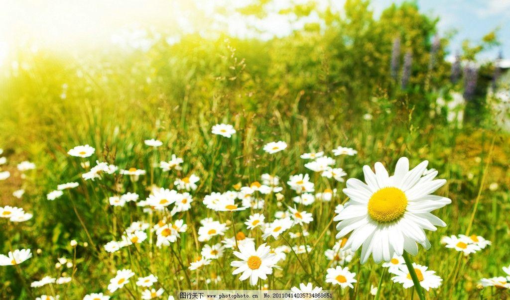 自然风景图 白菊花 白色花 白花 绿叶 绿草 树木 绿色 绿意