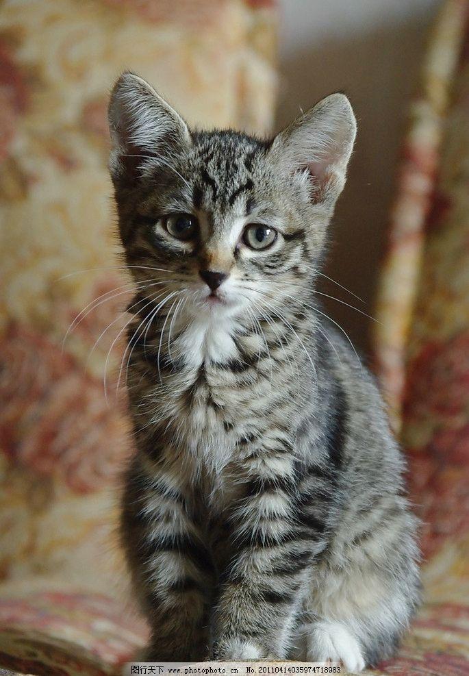 家猫 宠物猫 小猫 猫咪 花猫 猫 家禽 懒猫 宠物 猫猫 动物 家禽家畜