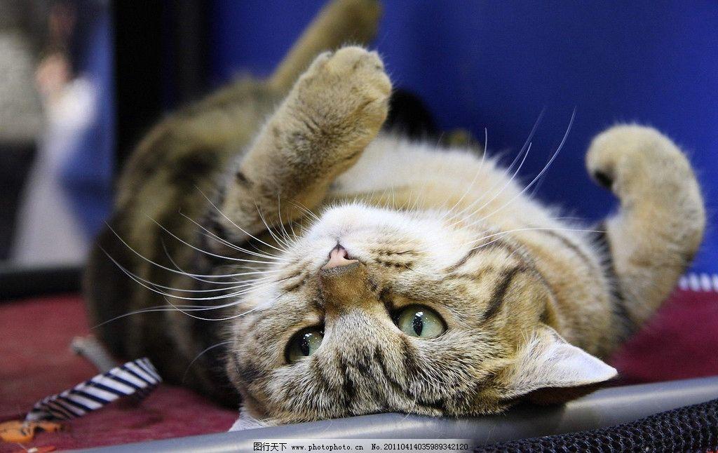 宠物猫 小猫 猫咪 花猫 家禽 懒猫 家猫 猫猫 动物 动物世界