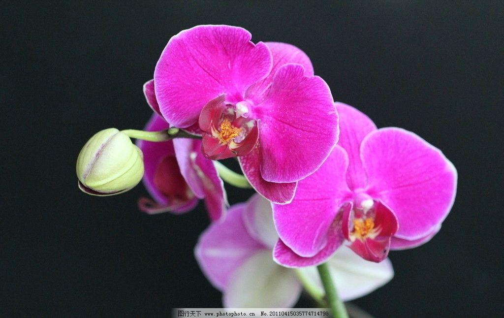 蝴蝶兰 花朵 花瓣 花芯 花蕾 枝干 黑色背景 花草 生物世界 摄影 72dp