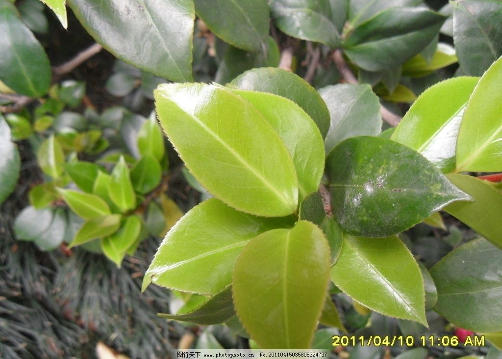 茶树叶子 茶树 树叶 树木树叶