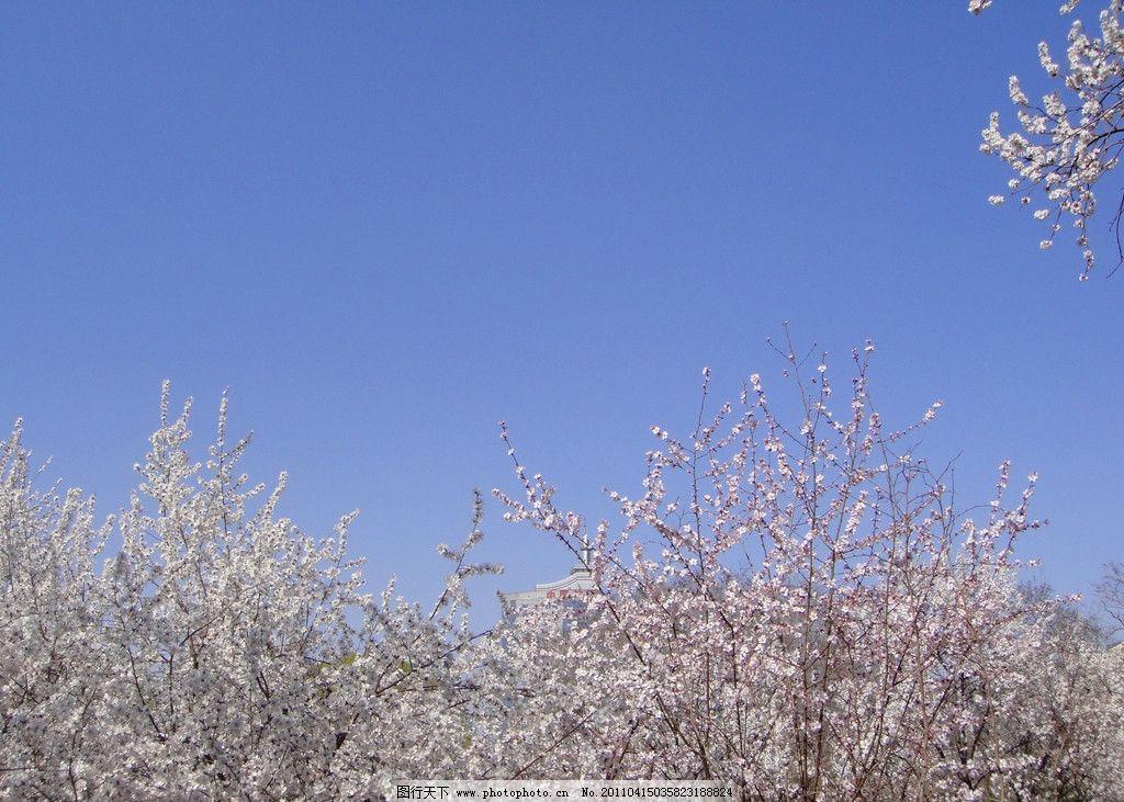 玉渊潭桃花 桃花 玉渊潭 北京 春天 树木树叶 生物世界 摄影 72dpi