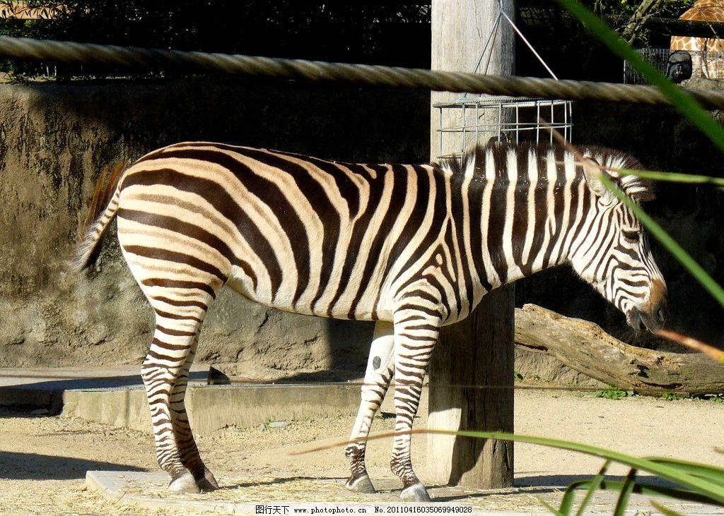 非洲斑马 斑马 奇蹄马科动物 保护斑纹 非洲 野生动物 自然 食草类 生