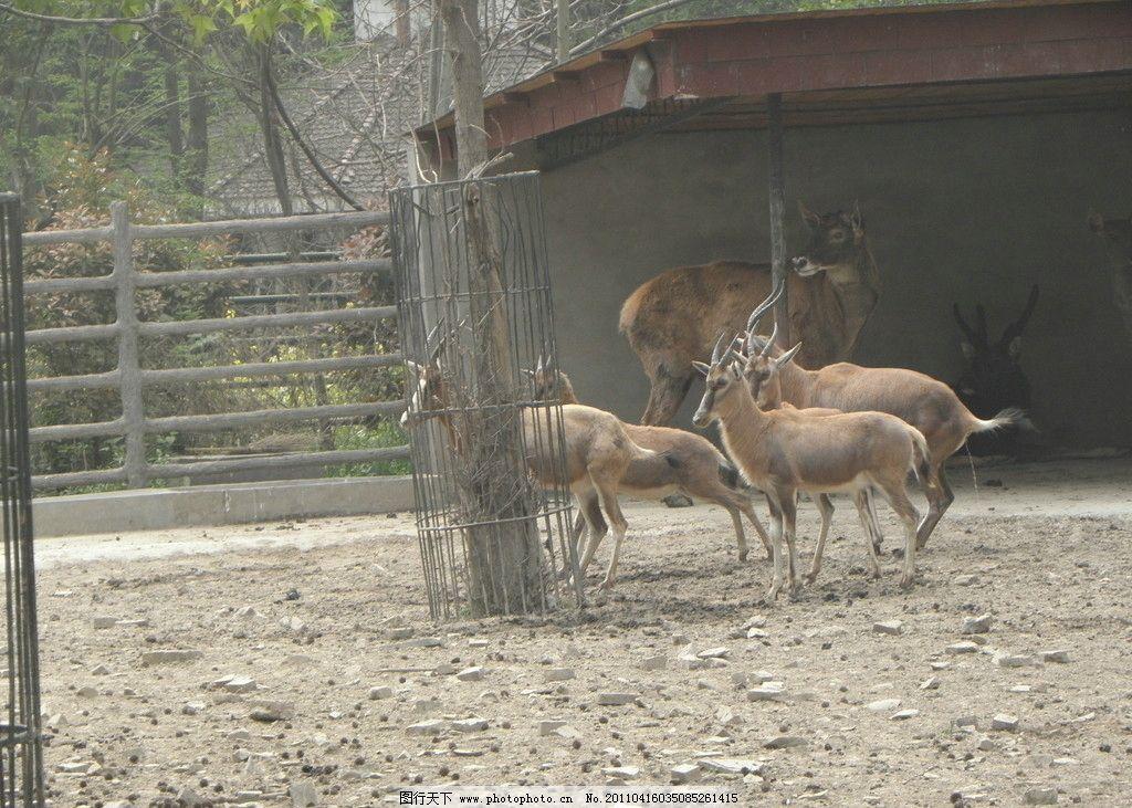 上海动物园 羚羊 野生动物 生物世界 摄影 72dpi jpg