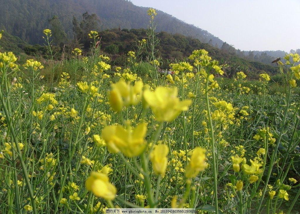 油菜花 油菜 金黄色 金黄 花儿 花卉 植物 春天 婺源 风景 风景花卉