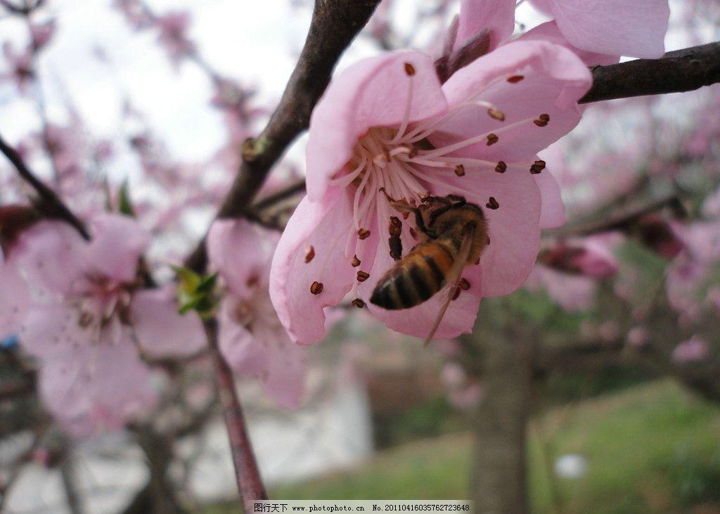 桃花开 桃花 春天 美丽 粉红 蜜蜂 桃花节 花草 生物世界 摄影 72dpi
