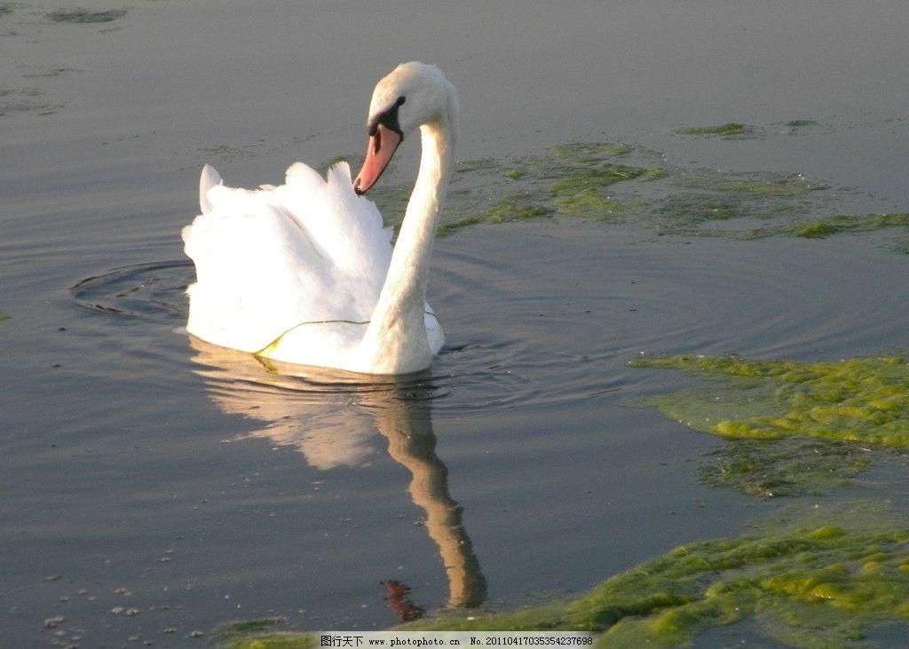 娴静的天鹅 优雅 娴静 天鹅 公园 倒影 海德公园水禽 鸟类 生物世界