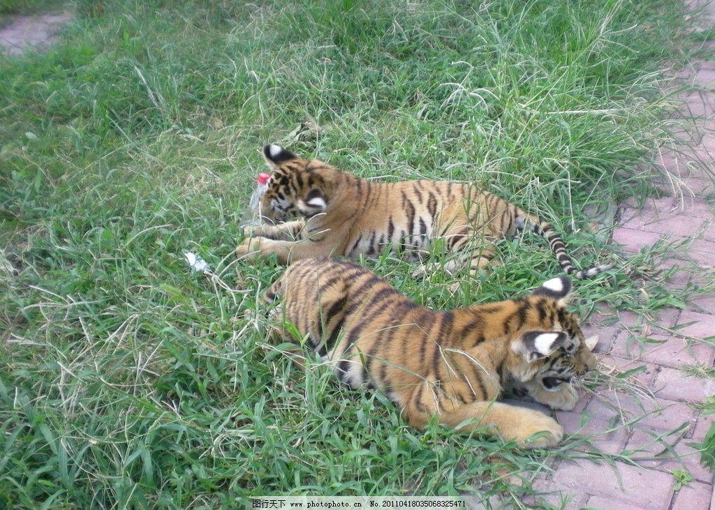 两只老虎图片
