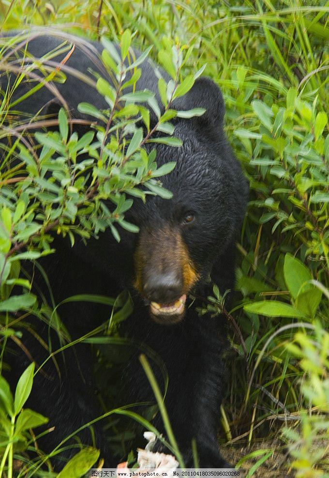 狗熊 黑熊 野兽 脯乳动物 保护动物 野生动物 生物世界 摄影 300dpi