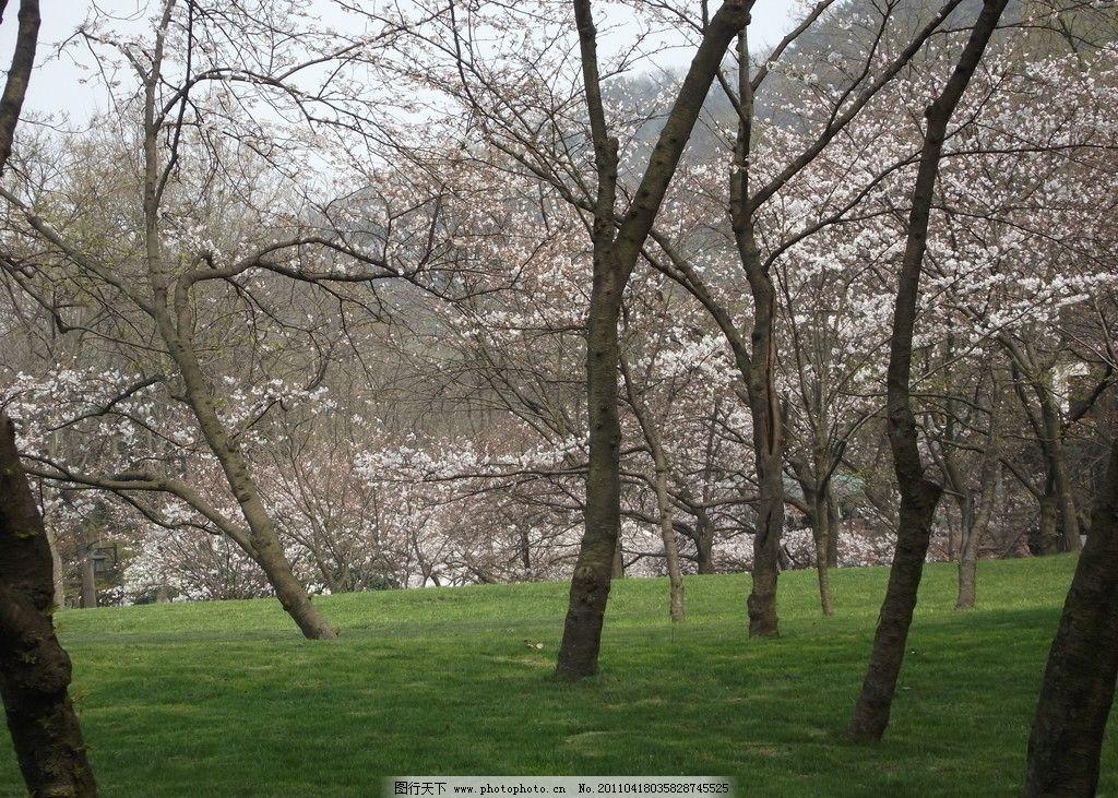 樱花树 树木 草地 树干 树枝 树木树叶 生物世界 摄影 72dpi jpg