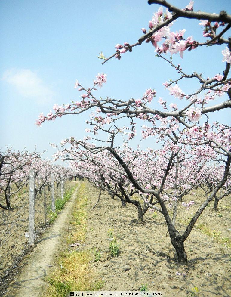 桃花园 桃花 花朵 桃花树 树木树叶 生物世界 摄影 300dpi jpg