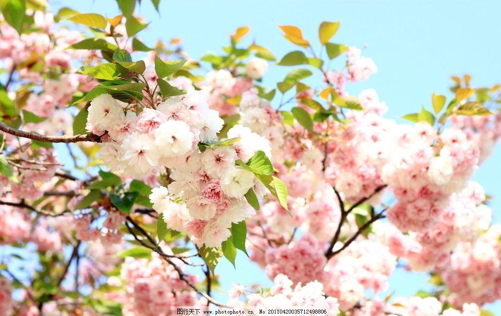 桃花 风景 春天 自然 摄影