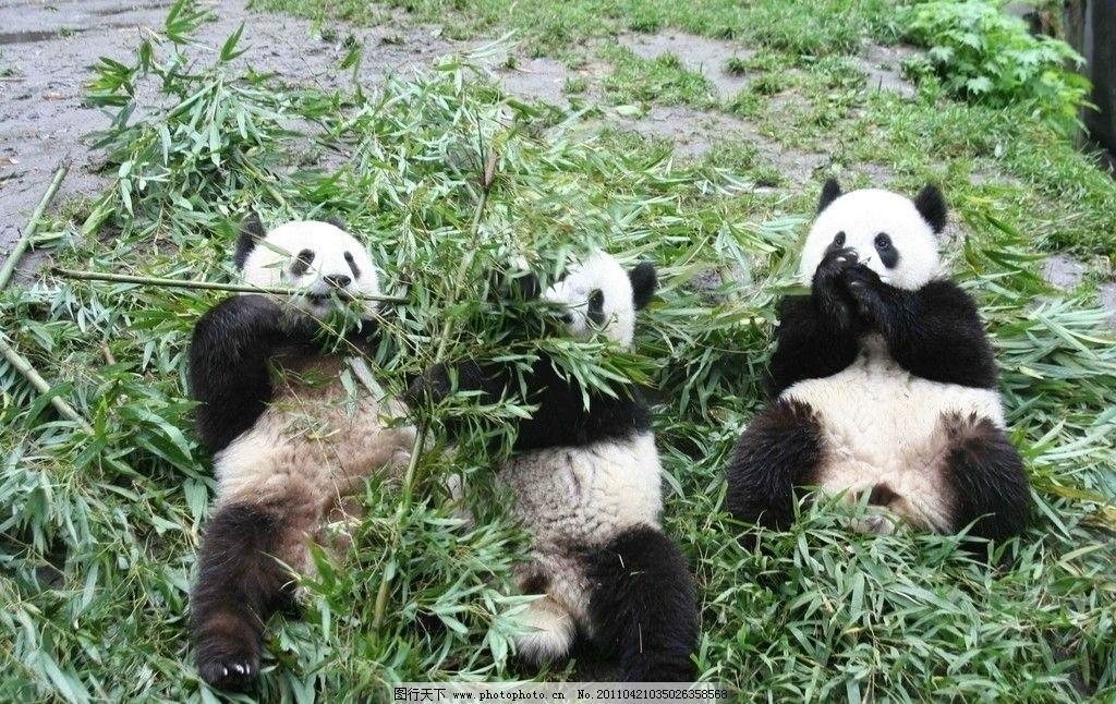 大熊猫 国宝 竹笋 野生动物 生物世界 摄影