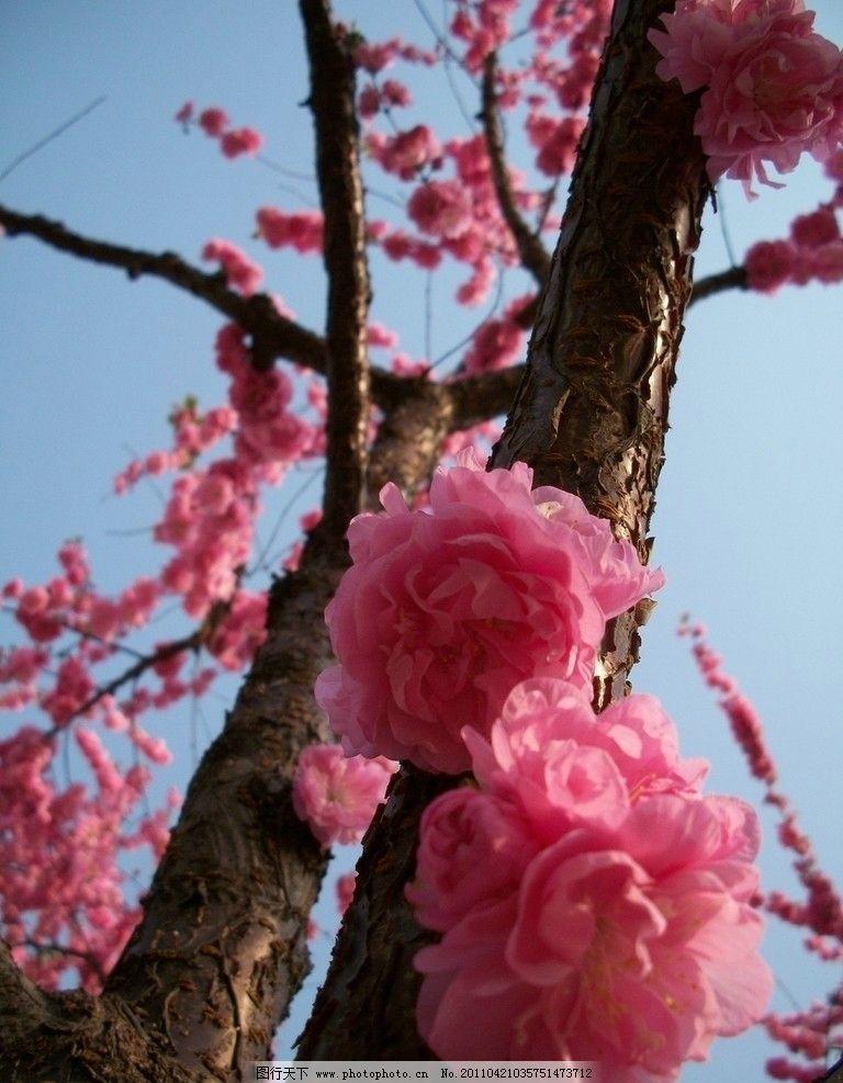 桃花 春天的花 桃树 粉红色花 花朵 花卉 花开 花开的季节 花草