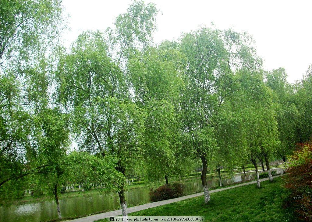 春天的柳树图片