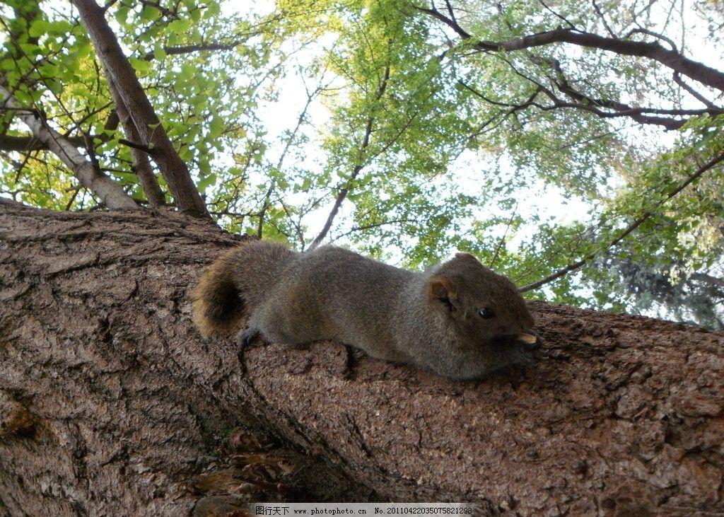 松鼠 小松鼠 捕食 小动物 可爱 野生动物 生物世界 摄影 96dpi jpg