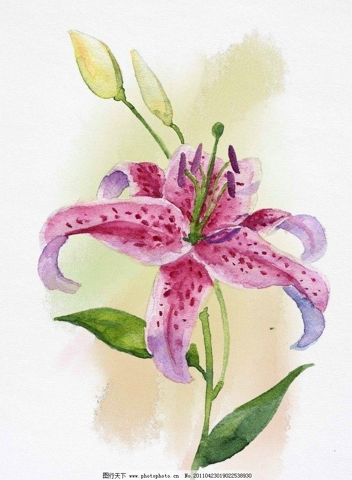 水彩花卉 百合花 水彩 花卉 花苞 百合 紫色百合 绘画书法 文化艺术